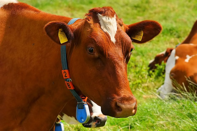 Fitbit For Cows